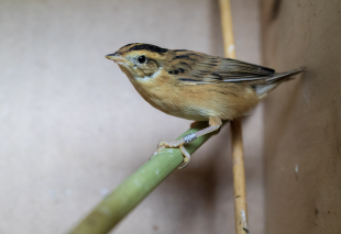 Aquatic warbler translocation from Belarus to Lithuania