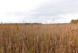 Тростниковые заросли на проектной территории Сервечь до выкашивания