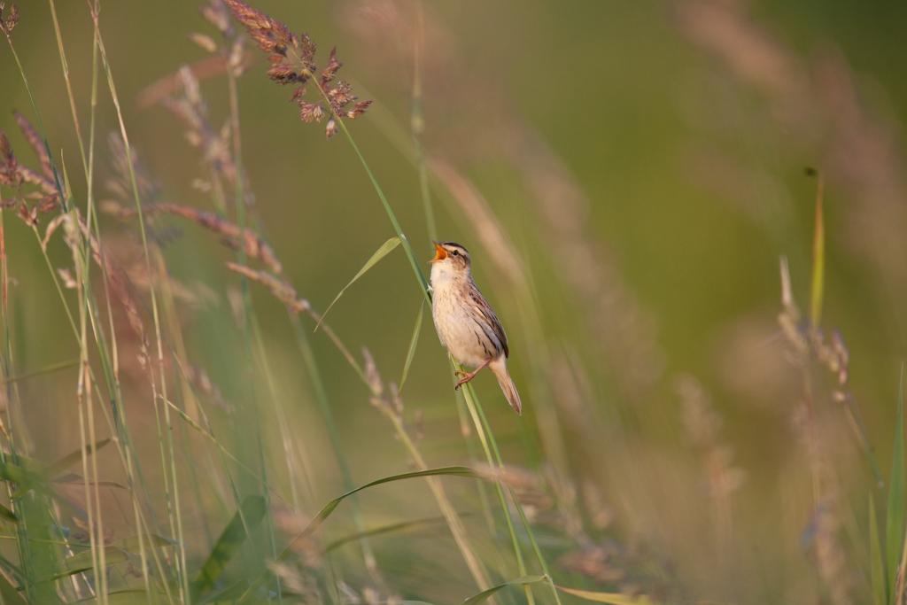 """Meldinė nendrinukė vadinama """"skėtine rūšimi"""" – šio paukščio giesmė liudija, jog jos gyvenamoje teritorijoje esančios gamtinės sąlygos yra palankios ir daugeliui kitų retų ar dažnesnių rūšių."""