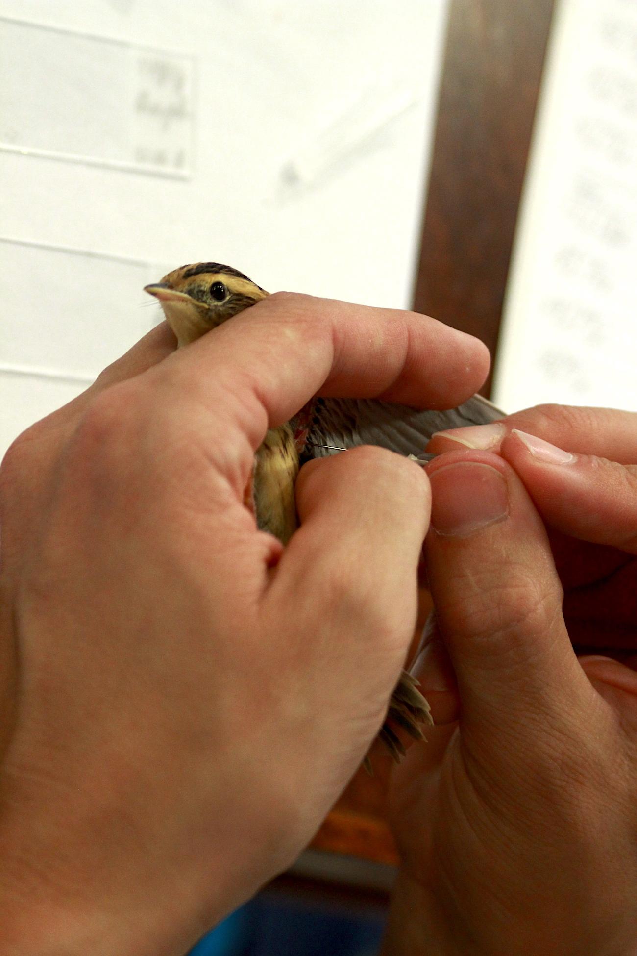 meldinių nendrinukių kraujo tyrimai - kraujo ėmimas siekiant nustatyti paukščių lytį