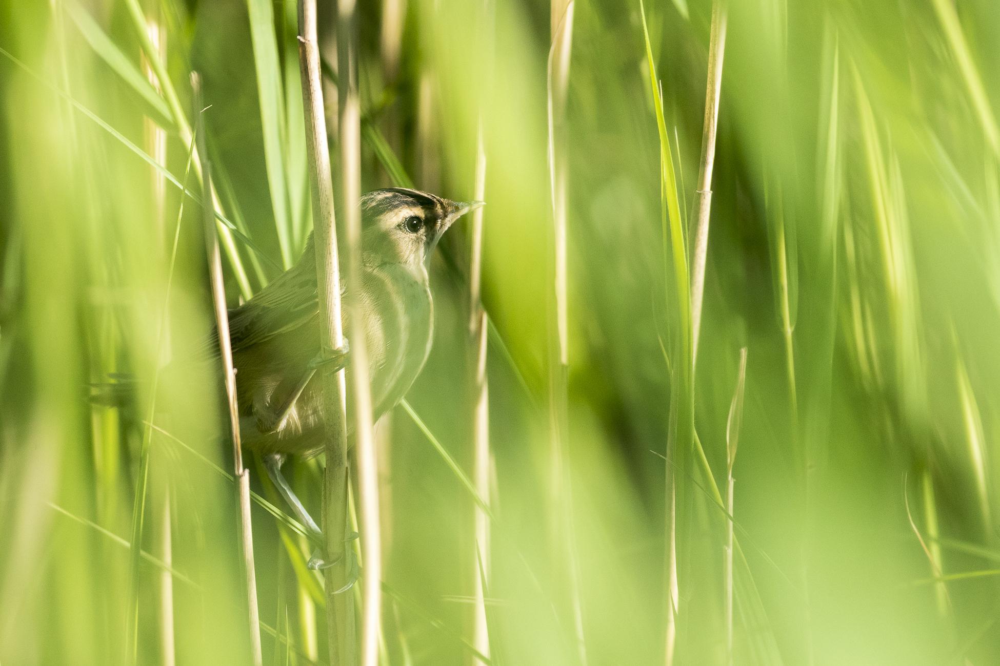 Ūgtelėjęs meldinių nendrinukių jauniklis, beislepiantis giliai žolėse Žuvinto biosferos rezervate