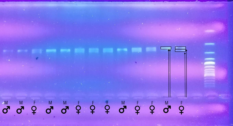"""Specialiame gelyje vykstančios DNR fragmentų """"lenktynės"""". Patinėlio abu """"bėgikai"""" (DNR fragmentai) """"nubėga"""" tą patį atstumą, persidengia ir todėl suformuoja vieną siauresnę juostelę, o patelės du """"bėgikai"""" sustoja greta ir suformuoja platesnę (dvigubą) juostelę. Meldinių nendrinukių kraujo DNR tyrimai lyčiai nustatyti. Specialaus gelio nuotrauka"""
