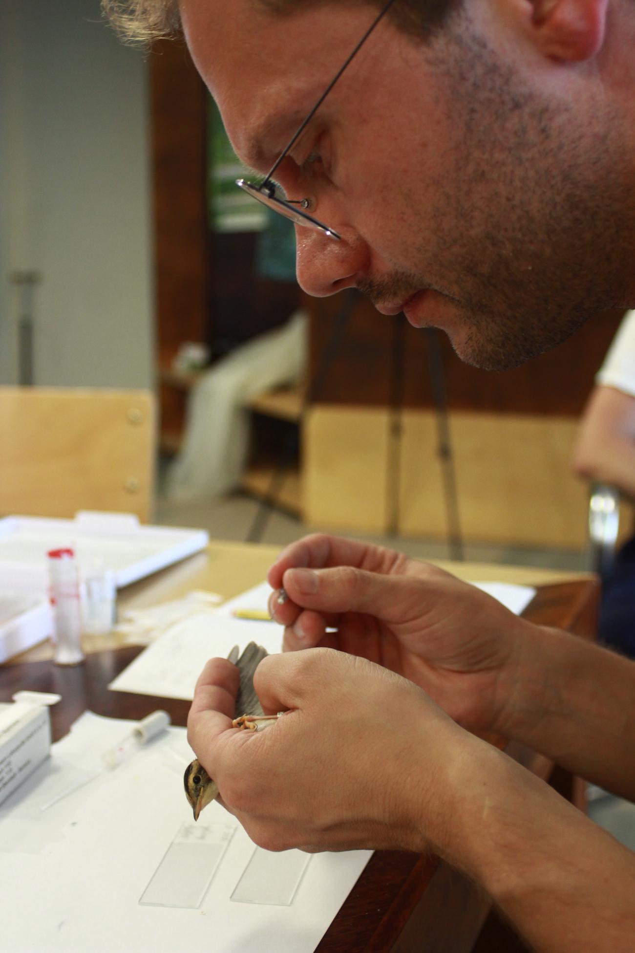 Gamtos tyrimų centro P. B. Šivickio parazitologijos laboratorijos vyresnysis mokslo darbuotojas dr. Vaidas Palinauskas atlieka meldinių nendrinukių kraujo tyrimus.