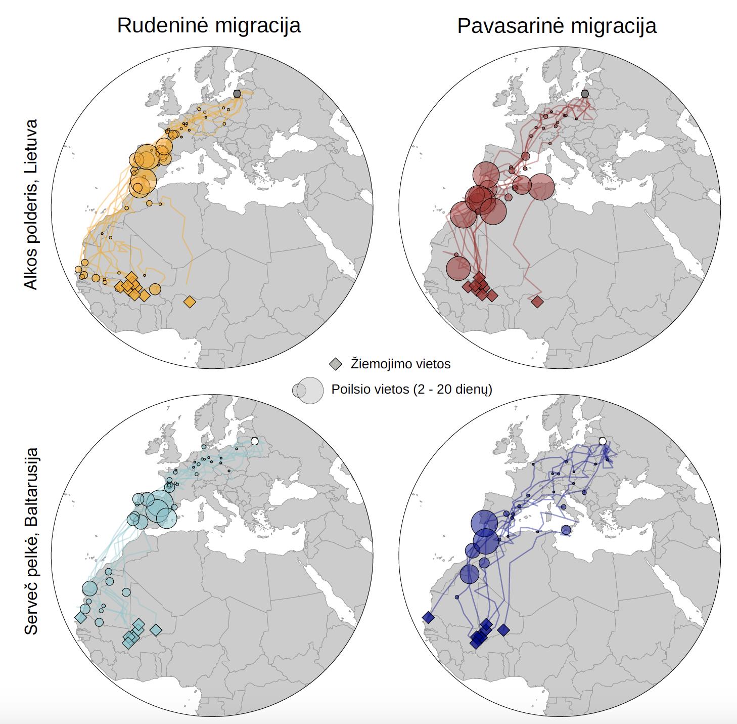 Geolokatorių tyrimų rezultatai - meldinių nendrinukių iš Lietuvos ir Baltarusijos migracija