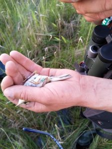 An Aquatic warbler female, that was translocated from Belarus to Žuvintas in 2019 and returned to her new home a year later. A green ring with a number and a letter indicates the translocated birds.
