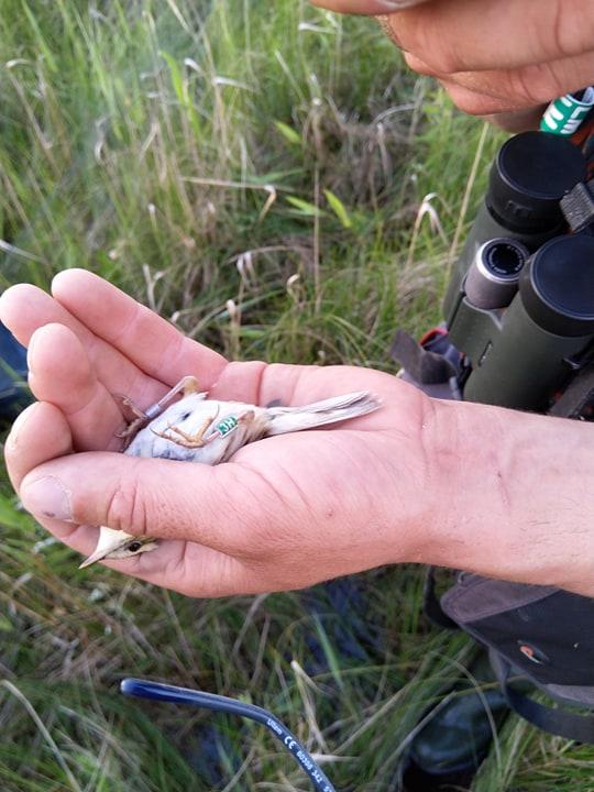 2019 m. į Žuvintą iš Baltarusijos perkelta meldinės nendrinukės patelė, po metų grįžusi į naujus namus. Žalias žiedas su skaičiumi ir raide žymi perkeltus paukščius.